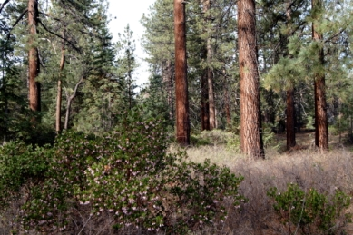 san pedro pines
