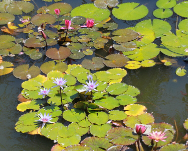 Aquatic Plants Pond