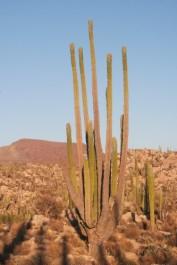 giant cardon cacti
