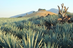 Agave Fields, Tequila, Mexico