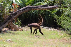 spider monkey island is a natural habitat for a family of these amusing primates