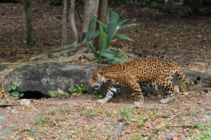 cat prowling through the parks jaguar island