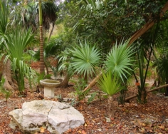 The palms on the right are the sabel mexicana native to the yucatan and used in the construction of palpa thatched roofs
