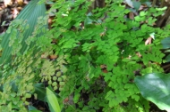 a fern native to the yucatan and florida considered to be a threatened species