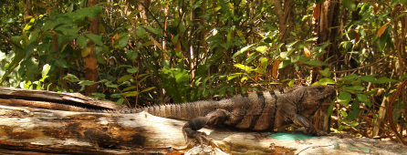 the ever present Iguana turns up almost everywhere in the maya riviera