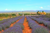 These lavender fields represent a cultivated crop ecosystem within a mountainous shrubland environment