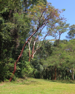 Some are considered to be sacred while the red bark of others is used for medicinal purposes.