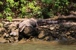 While cruising along the river, you will see crocodiles and a variety of birds such as egrets and heron's