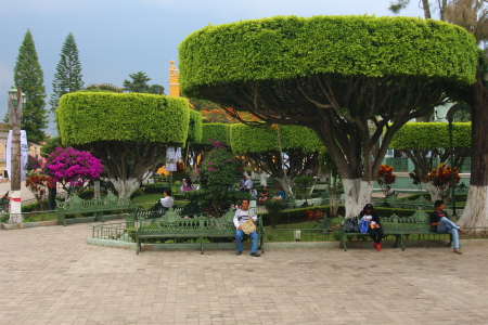 Here's  the flat top trees in Comitan's main plaza