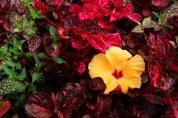 gardden hibiscus
