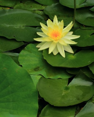 Another type of lily pad in the LCS garden pond