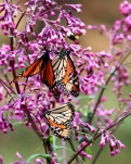 monarch butterflies at the El Rosario butterfly reserve