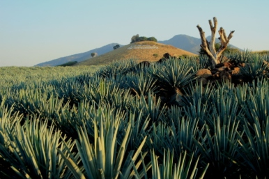 Blue Agave plants in the State of Jalisco. A cultivated eco-system and UNESCO World Heritage Site.