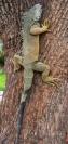 iguana park lizard